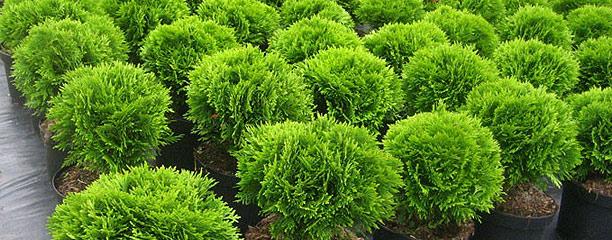 фото саженцев из лучших Европейских питомников растений
