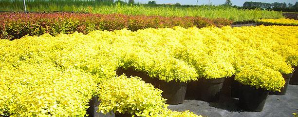 На фото саженцы растений, которые поставляют нам лучшие питомники растений из Европы