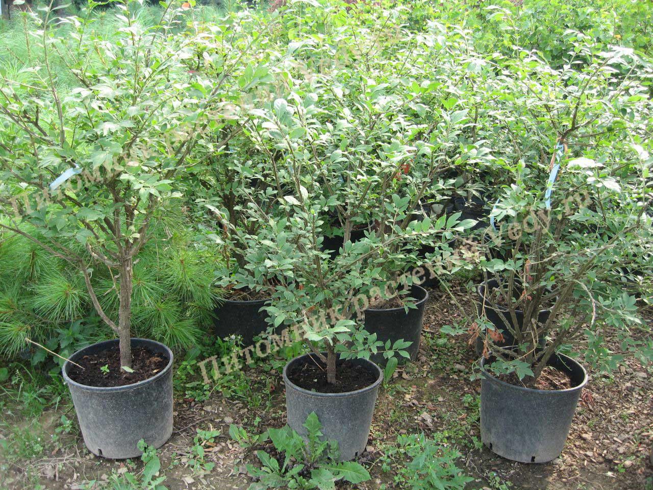 Саженцы деревьев и кустарников в питомнике купить