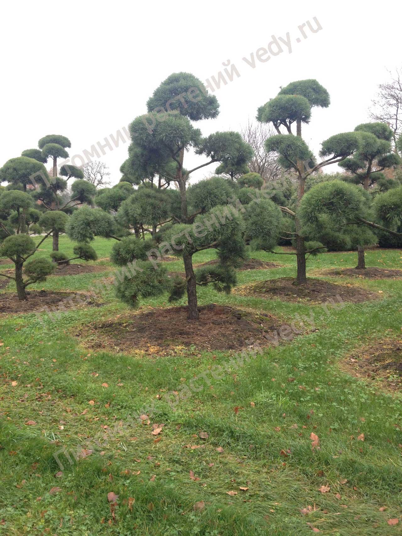 Садовые бонсаи своими руками фото 638