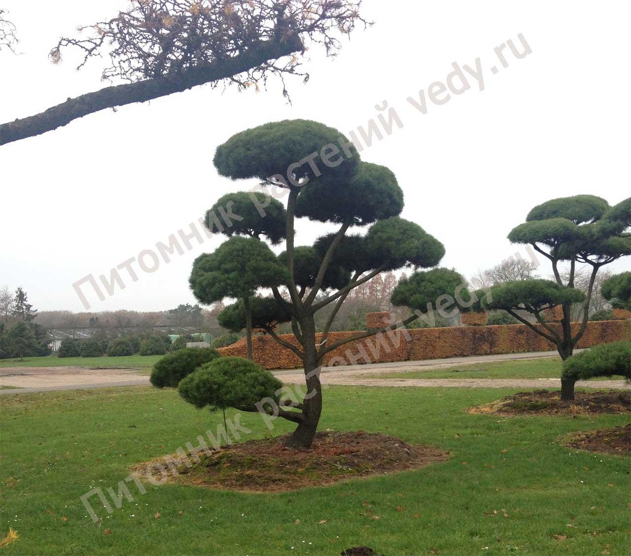 Садовые бонсаи своими руками фото 151