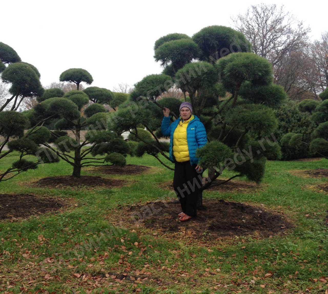 Садовый бонсай из сосны обыкновенной своими руками 181