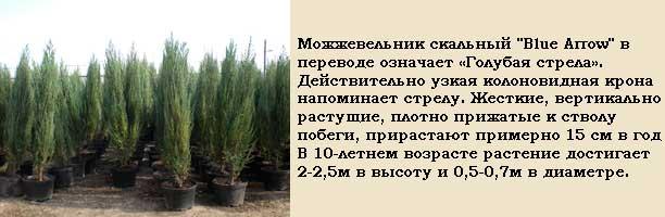 быстрорастущие деревья - Можжевельник скальный