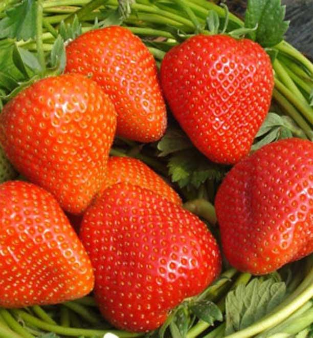 Сорт клубники Зумба